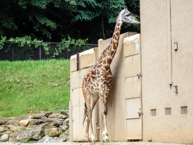Giraffe Waiting For Dinner