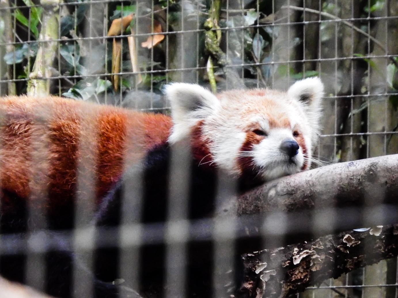 Red Panda Napping More