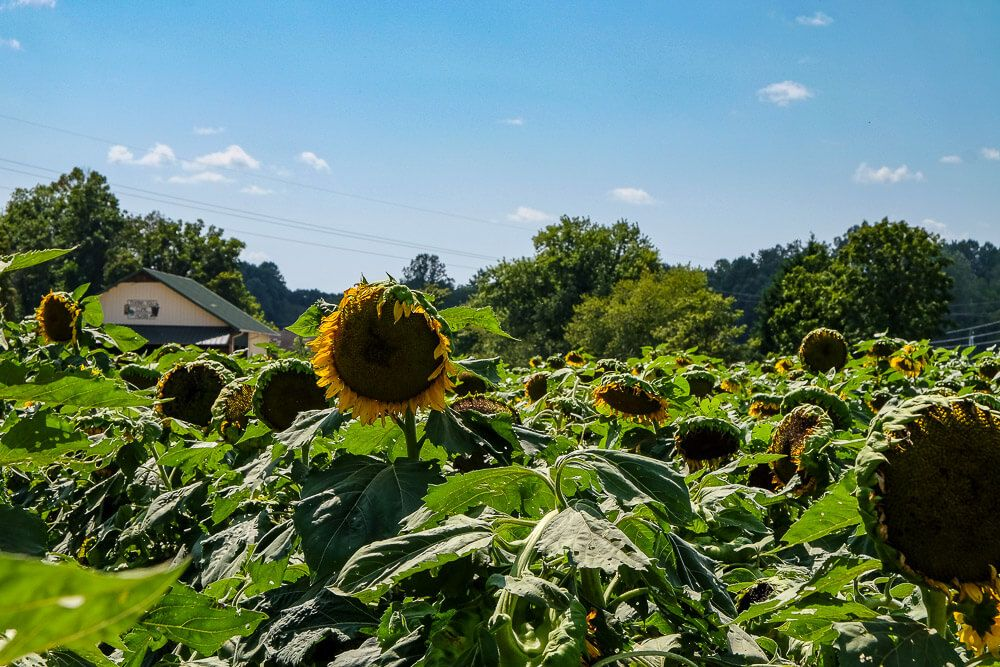 Where to go sunflower picking in Greenville SC