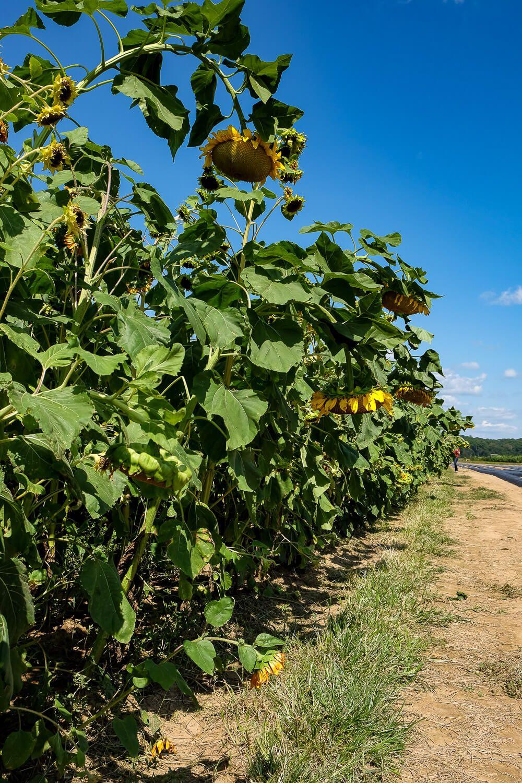 Where to go sunflower picking in Greenville SC