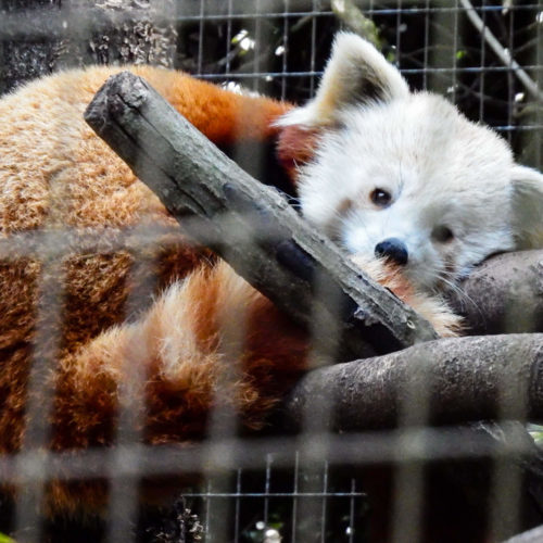 Want to See Some Red Pandas?
