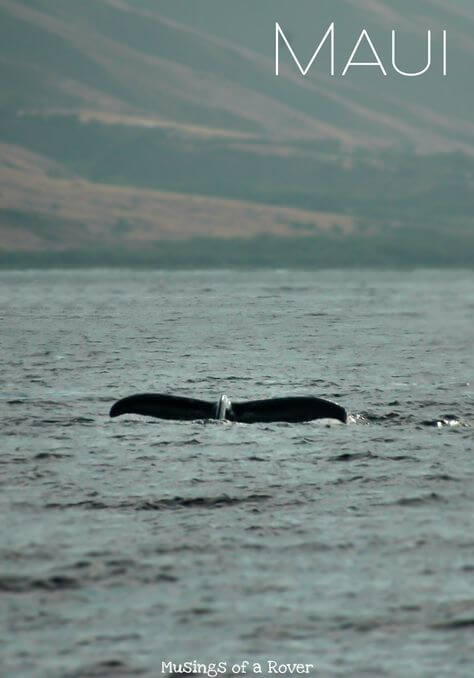 Winter in Maui means one thing: whales! But with so many tours, which one should you choose? Find out why the Trilogy Whale Watching tours are the best!