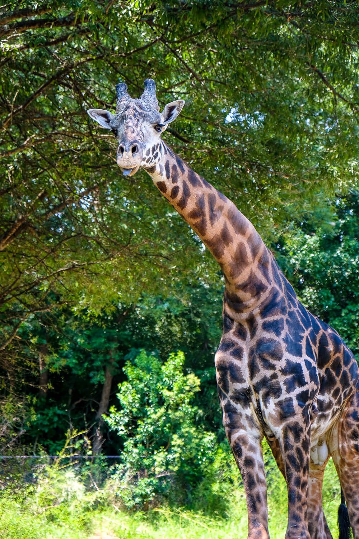 giraffe at greenville zoo