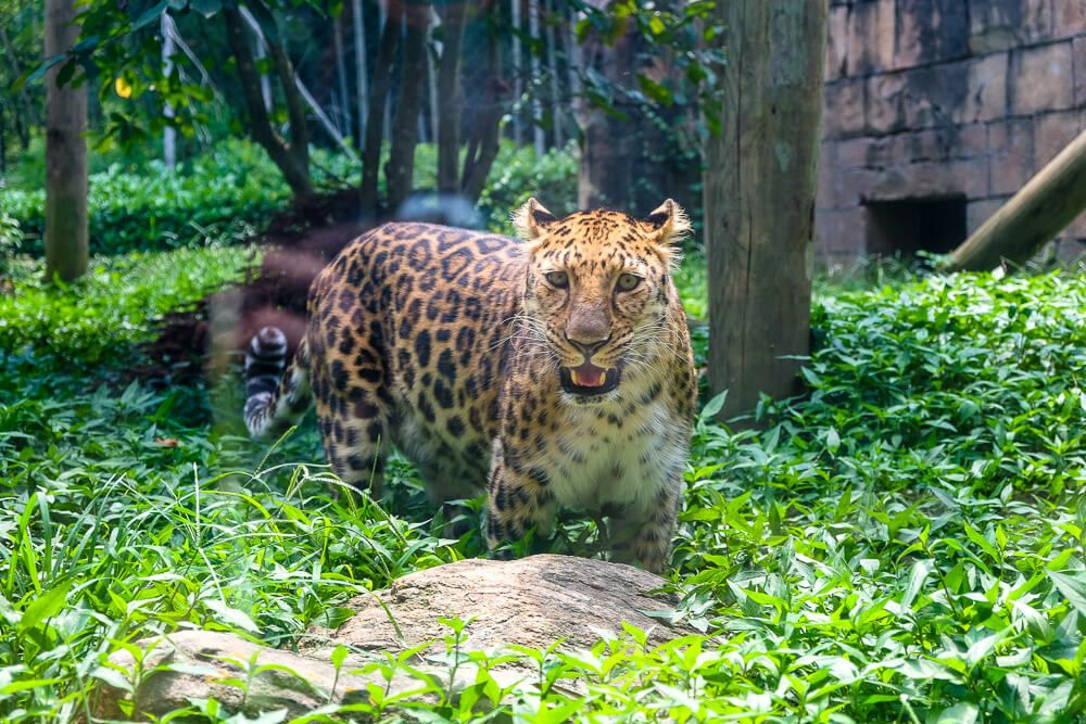 leopard at greenville zoo