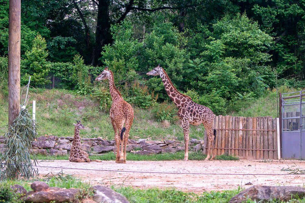 giraffes at greenville zoo