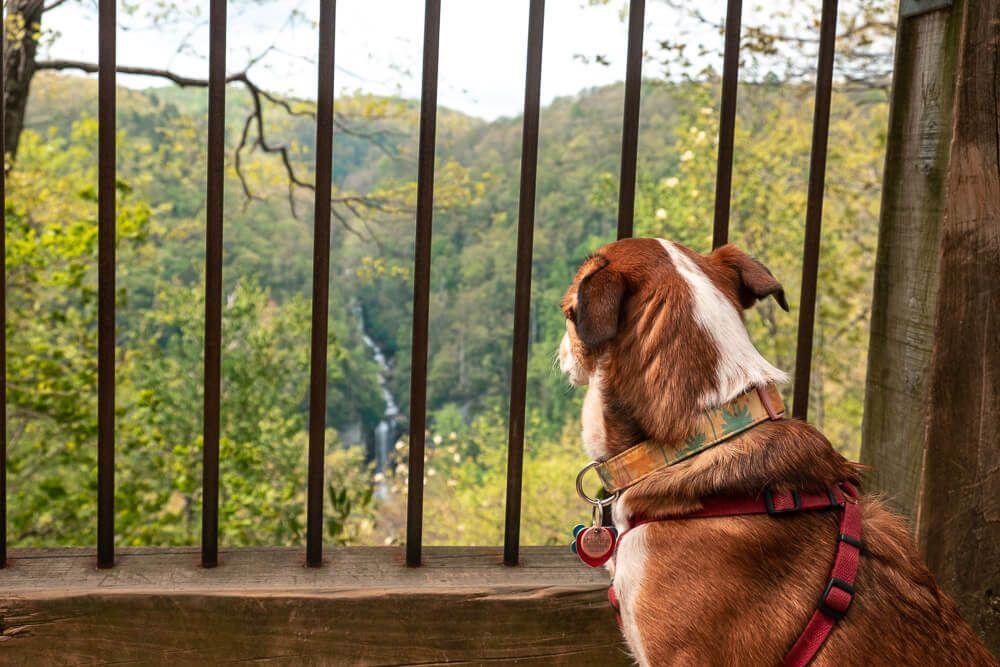 dog at raven cliff falls